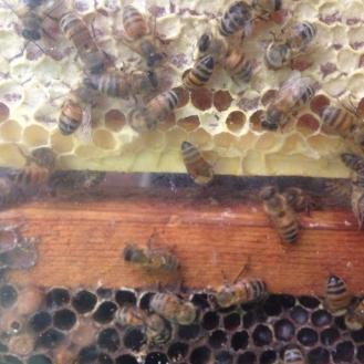 Zee Bees!